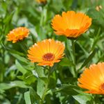 Calendula, une plante médicinale aux bienfaits