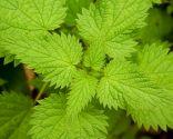 plantes anti-chute - ortie