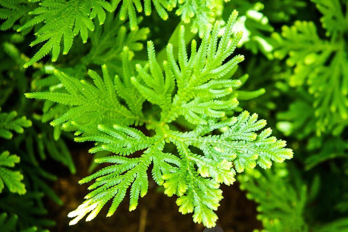 varices plantes - cyprès