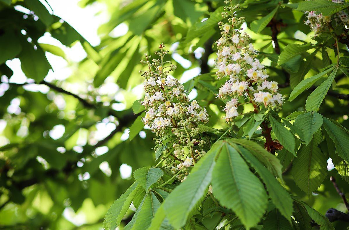 varices plantes - marronnier d'Inde