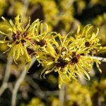 6 plantes médicinales contre les varices