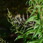 La citronnelle, une plante médicinale apaisante et revigorante
