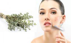 plante médicinale thym
