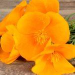Pavot de Californie, plante médicinale pour s'endormir