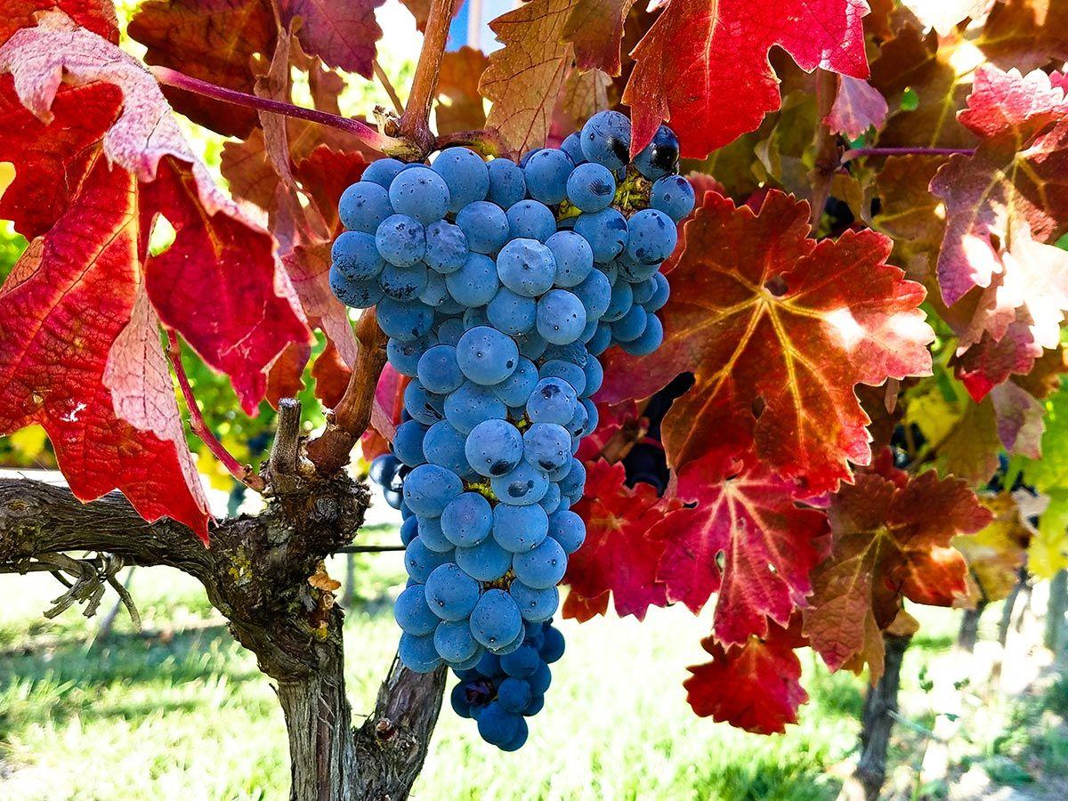 plantes variqueuses - vigne rouge