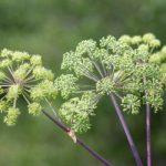 Angélique, plante médicinale contre l'indigestion et contre la bronchite
