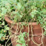 Bufera, plante médicinale pour le stress ou l'épuisement