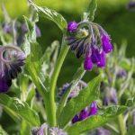 Consoude, plante anti-inflammatoire et cicatrisante