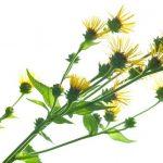 Enula, plante médicinale pour les affections respiratoires
