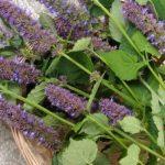 La menthe de Corée, une plante médicinale pour les problèmes digestifs
