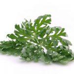 L'absinthe, une plante médicinale utilisée comme stimulant digestif