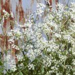 Le carvi, plante médicinale pour traiter les coliques infantiles