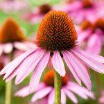 L'échinacée, une plante aux propriétés antiobiotiques