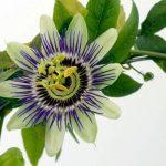 Passiflore, plante médicinale sédative et hypotensive