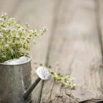 Thym, plante médicinale des infections respiratoires