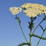 Yarrow, plante médicinale à usage gynécologique